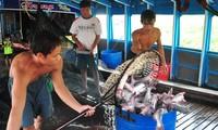 Công nhân đưa cá tra lên nhà máy. Ảnh: Hòa Hội.