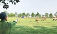 Dự án Spring Hill City nay trở thành nơi chăn thả trâu bò.