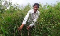 Rừng tràm của ông Hồ Văn Ngon bị sâu lạ tấn công.