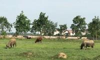Nhiều dự án đô thị, bất động sản tại huyện Mê Linh nay đã thành nơi chăn thả trâu bò. Ảnh: Trường Phong.