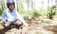 Hiện trường bức tử rừng thông giành đất cho người chết ở thành phố Ðông Hà.