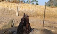 Cọc gỗ tại hố khai quật ở Cao Quỳ, Hải Phòng có đường kính lớn hơn bãi cọc ở Quảng Ninh. Ảnh: VKC