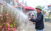 Thị trường 29/12: Phát hiện 80kg tôm tươi bơm hóa chất, tìm hướng bán đào Nhật Tân nở sớm
