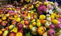 Thị trường ngày 22/1: Thanh long rớt giá, hoa cúc không tàn hút khách dịp cận Tết