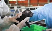 Lần đầu tiên, Việt Nam nhân bản thành công lợn quý hiếm