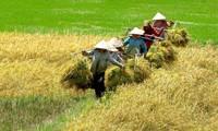 Lúa Hè Thu chưa thu hoạch xong, nông dân lại lo vụ Thu Đông