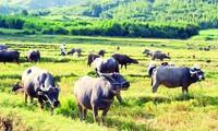 Đàn trâu làng Trường Sơn dưới chân đồi Sân Bay