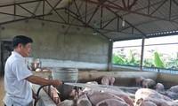 """Giá lợn đang tăng lên, nhưng nông dân không được hưởng, vì lợn đã """"cạn"""" vì dịch bệnh. Ảnh: Bình Phương"""