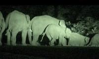 Đàn voi rừng xuất hiện ở khu vực Ea Súp năm 2012. Ảnh: Văn Thụ