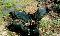 Hai cá thể chim già đẫy xòe cánh tuyệt đẹp