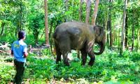 Voi thả trong rừng có nài voi giám sát