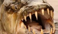 Huyền thoại về 'thủy quái' nước ngọt hung dữ nhất hành tinh
