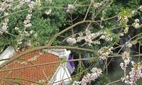 Ngỡ ngàng vẻ thơ mộng của ngôi đền ở hồ Trúc Bạch được hoa đỗ mai bao trùm