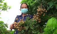 Nông dân ở Sơn La tỏ ra lo lắng trước việc nhãn đến vụ thu hoạch nhưng bí đầu ra Ảnh: PV