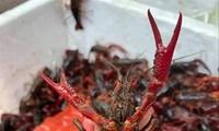 Tôm càng đỏ là sinh vật ngoại lai xâm hại, việc kinh doanh, tiêu thụ loài này là vi phạm qui định pháp luật về đa dạng sinh học và thủy sản