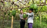 Phó Chủ tịch xã Nông Thị Uyến (bên trái) thăm mô hình bí xanh của người dân Ảnh: NVCC