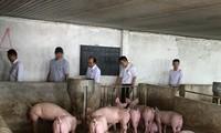 Chống chọi với dịch tả,người chăn nuôi tại Ðồng Nai chờ giải pháp tiêu thụ thịt lợn