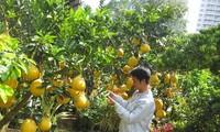 Những cây bưởi Diễn trái lúc lỉu trên đường Mai Chí Thọ (Q.2) được nhà vườn chăm sóc cẩn thận. Ảnh: U.P