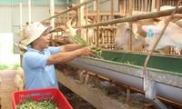 Anh Nguyễn Văn Hải (xã Ea Bar, huyện Buôn Đôn, tỉnh Đắk Lắk) cho đàn dê ăn sau khi khai thác sữaẢNH: H.T