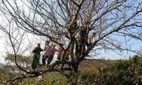 Cây đào ở Tà Xùa, Bắc Yên bắt đầu nở hoa
