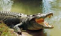 Thực hư cá sấu 'khổng lồ' xuất hiện ở bến phà Bình Dương