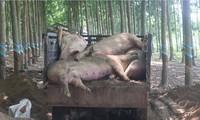 Tiêu hủy gần 200 con heo dương tính với dịch tả lợn Châu Phi
