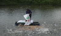 Cá tra là một trong những loại thủy sản còn tồn đọng lớn trong dân. Ảnh: H.P