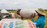 Việt Nam có được Philippines mời tham gia đấu thầu 300.000 tấn gạo?