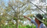 Nông dân đau đớn nhìn cây trái chết do hạn mặn lịch sử