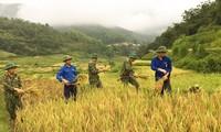 Thanh niên đội nắng giúp đồng bào vùng cao gặt lúa