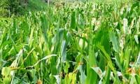 Hàng triệu con châu chấu lưng vàng đang tàn phá hoa màu ở Mường Lát, Thanh Hoá