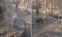 """Ảnh cắt từ clip cho thấy 2 con hổ mon men tiến lại gần con ngỗng liền bị nó rượt đuổi """"chạy té khói""""."""