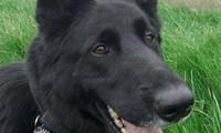 Chú chó cảnh sát anh hùng tên là Jet, 6 tuổi.