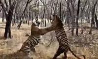 Hai chú hổ ác chiến dữ dội.