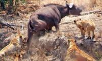 Bầy sư tử cố gắng bắt trâu rừng