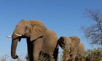 Đoàn du khách 'hú vía' khi bị voi châu Phi hù dọa