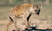 Cái kết 'đắng' cho linh cẩu khi cướp miếng ăn của sư tử