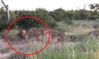 Sư tử cái hợp sức bảo vệ con non