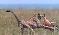 Báo cheetah tăng tốc, tóm gọn linh dương