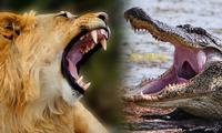 Sư tử qua sông bị cá sấu mai phục: Trận chiến kinh hoàng