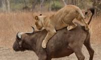 Trâu rừng mẹ đánh nhau với sư tử để bảo vệ con