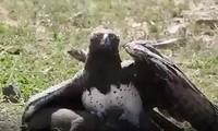 Đại bàng tóm gọn lợn lòi con