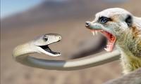 Cuộc chiến sinh tử giữa rắn mamba đen và cầy măng-gút