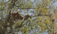 Sai lầm chết người của báo hoa mai khi trèo cây săn khỉ
