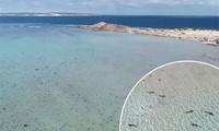 Kỳ lạ, hàng trăm con cá mập vây quanh bờ biển Australia