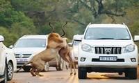 Sư tử tóm gọn linh dương Kudu ngay trước đoàn xe của khách du lịch