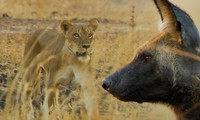 Sư tử tha chết cho chó hoang