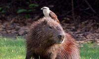 Chuột lang trả giá đắt vì thách thức báo gấm
