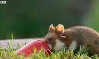 Chuột Hamster háu ăn tìm được bữa tiệc thịnh soạn trong nghĩa trang