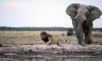 Voi mẹ đánh đuổi sư tử bảo vệ con